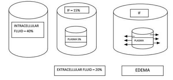 A pictorial depiction of fluid distribution in the body. Intracellular fluid 40%, Interstitial fluid (IF) 15%, Plasma 5%