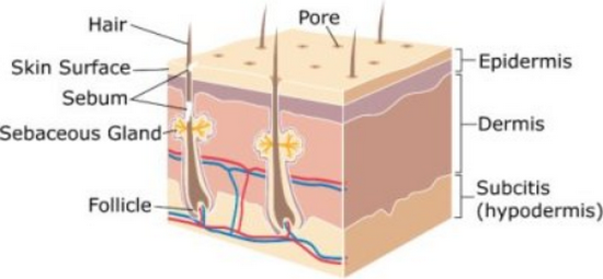 Layers of skin- Hypodermis (Sub-cutaneuos layer), dermis and epidermis can be noted in this picture