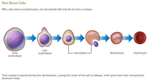An image showing the process of RBC formation in the body image photo picture