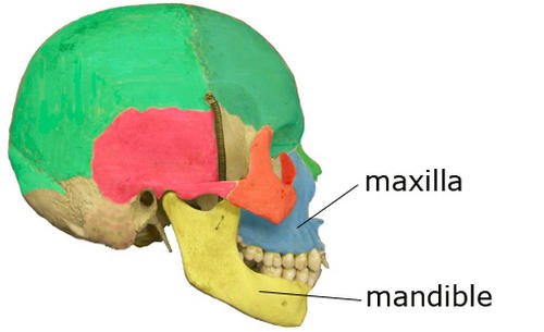 The human skull with emphasis on the upper and lower jaws image photo picture